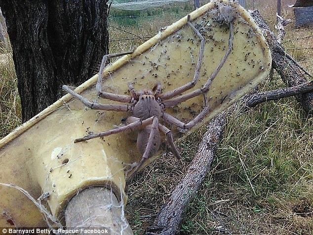 Giant Huntsman Spider 1