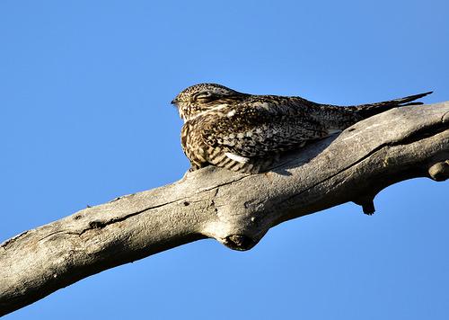Common nighthawk on Seedskadee National Wildlife Refuge